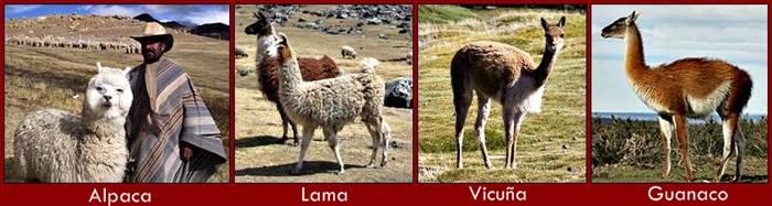 Alpaca_Wiki-horz